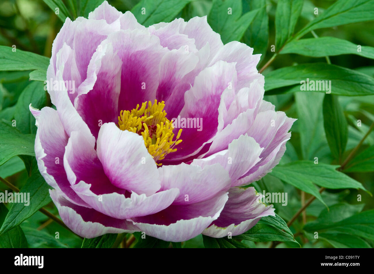 baum pfingstrose paeonia suffruticosa stockfoto bild 34619787 alamy. Black Bedroom Furniture Sets. Home Design Ideas