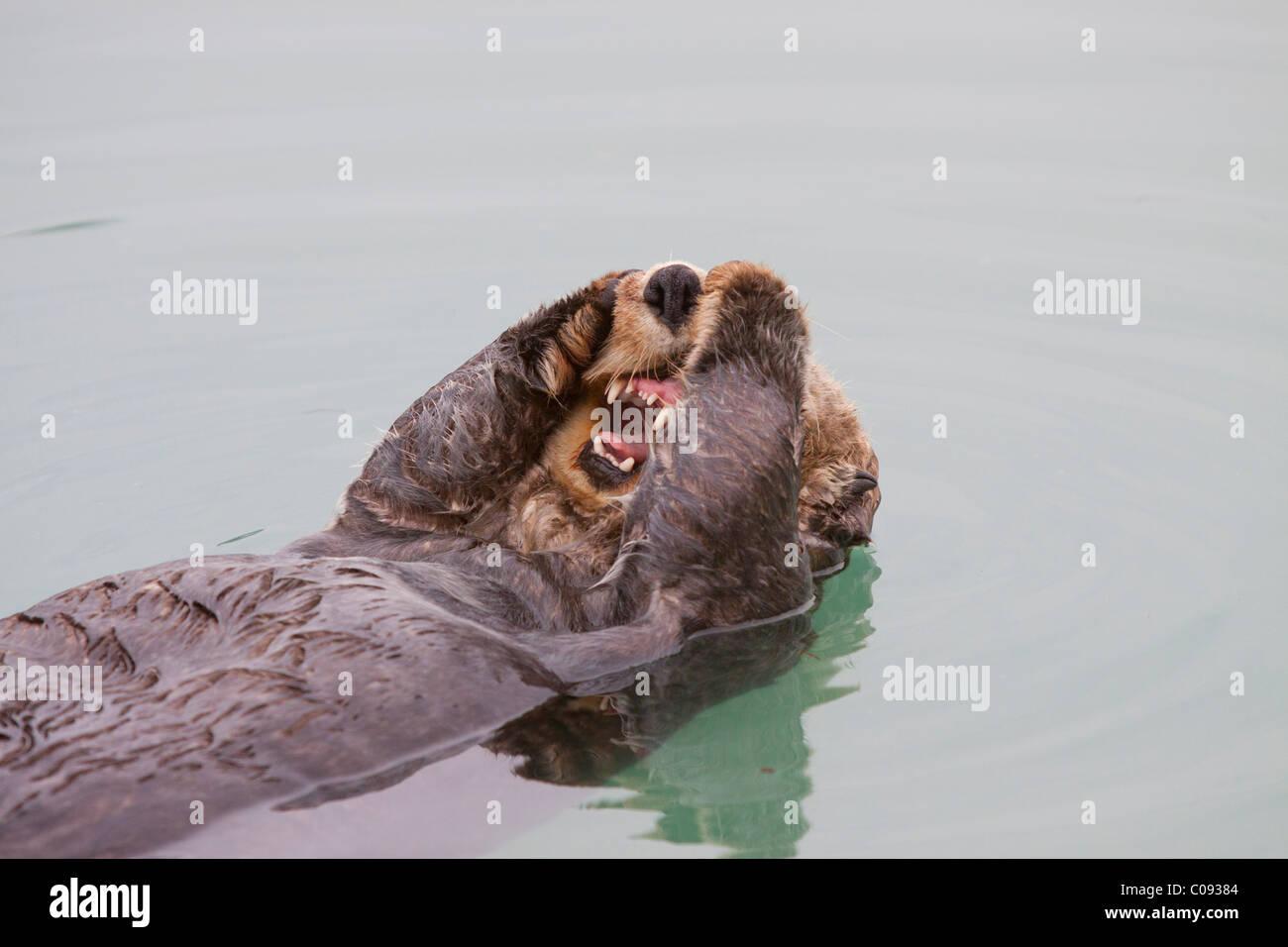 Ein Erwachsener Seeotter schwimmt in den ruhigen Gewässern des Sommers Valdez kleinen Bootshafen, Yunan Alaska Stockbild