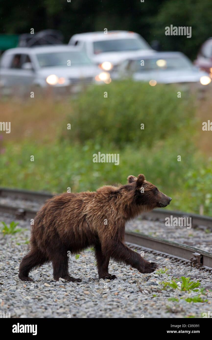 Ein Braunbär Kreuze Eisenbahnschienen von einem Verkehrsunfall gefüllt Seward Highway in der Nähe Stockbild