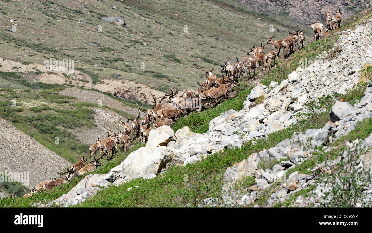 Porcupine Caribou Herde klettern einen steilen Ufer nach dem Schwimmen über den Hulahula Fluss während Stockbild