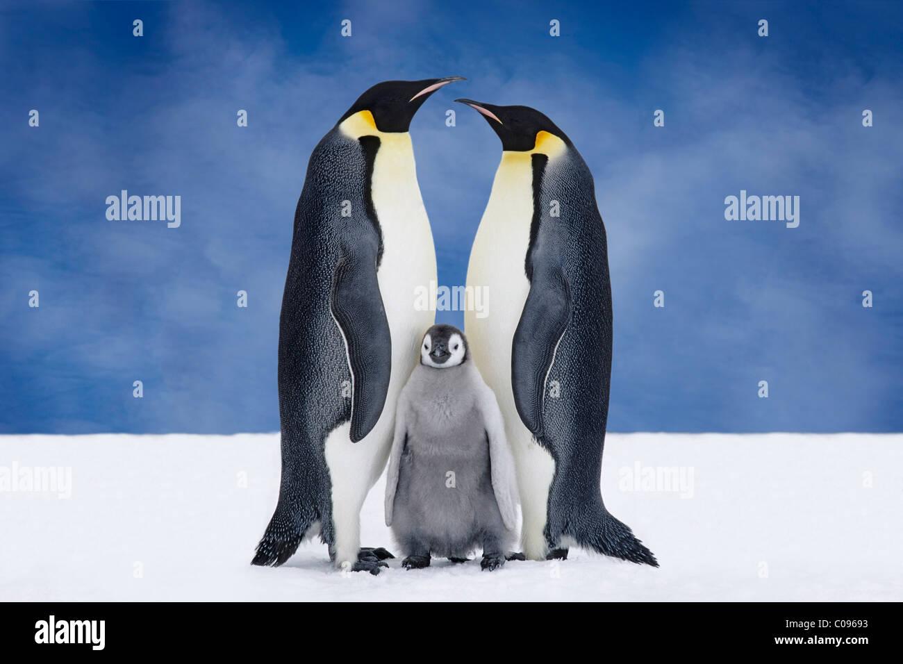 Porträt von Kaiser-Pinguin-Eltern & Küken, Atka Bucht, Antarktis, COMPOSITE Stockbild