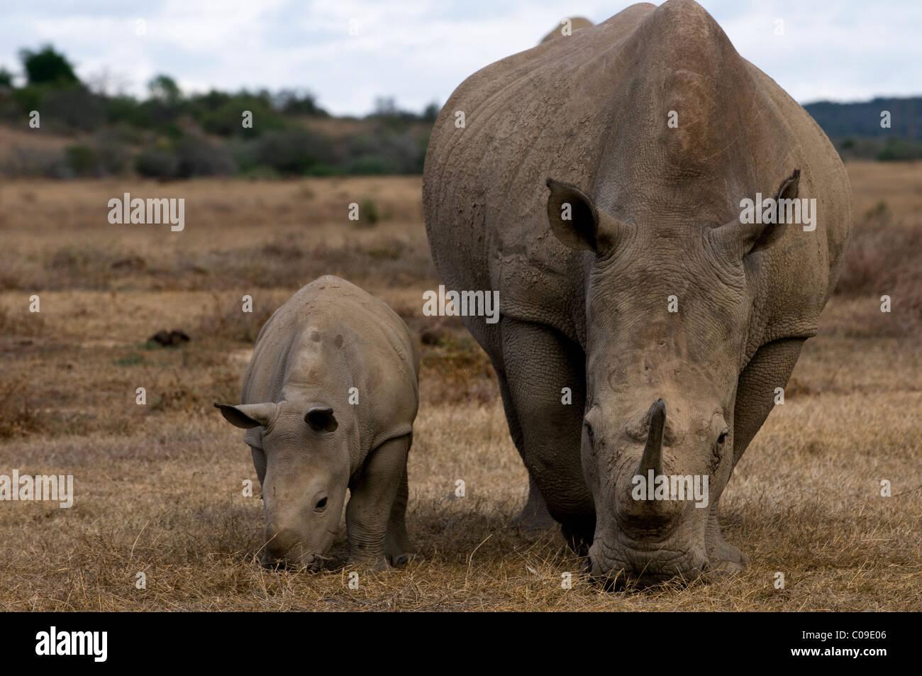 Female White Rhino und Kalb, Kwandwe Game Reserve, Eastern Cape, Südafrika Stockbild