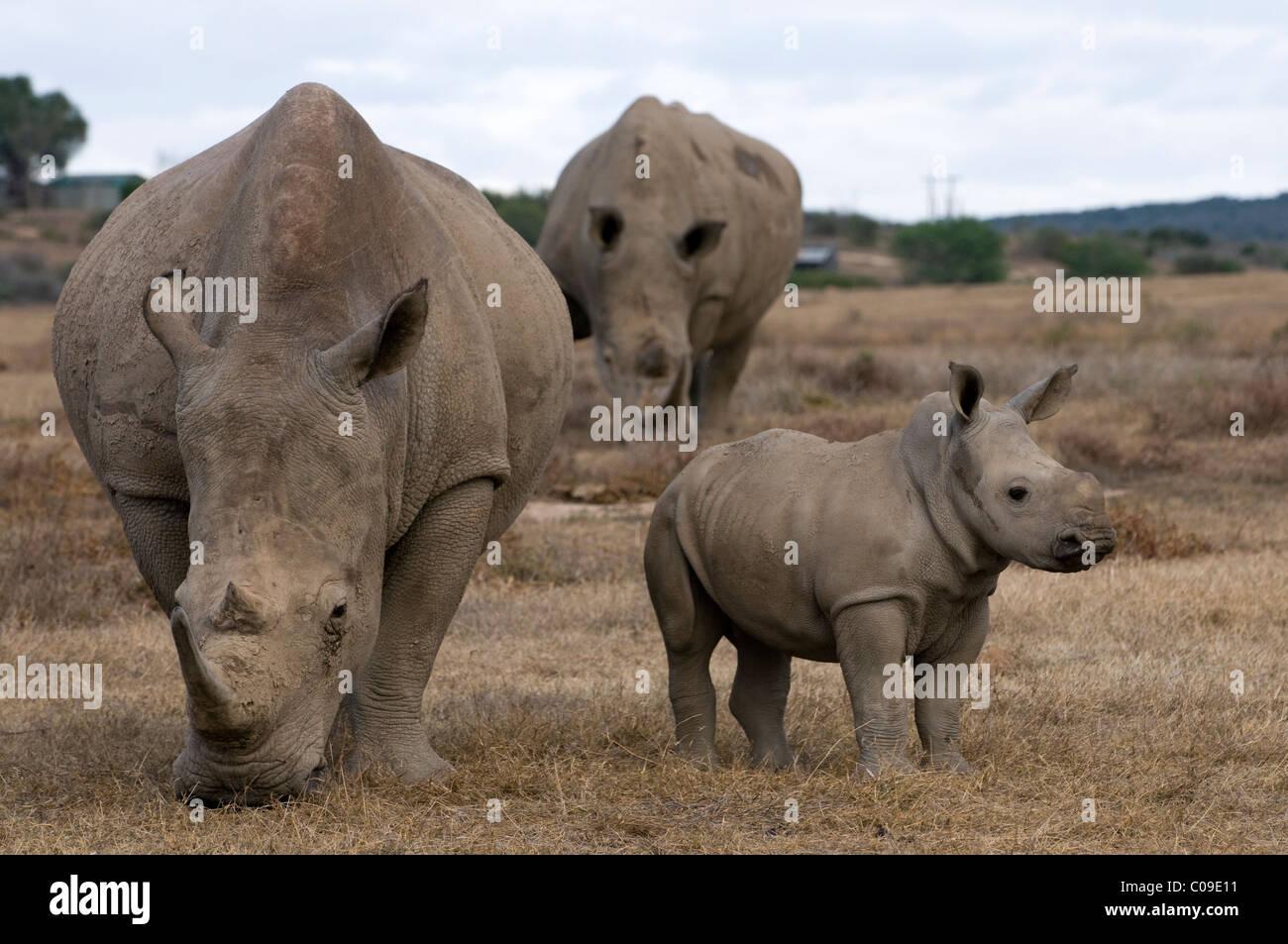 Weiße Rhinos und Kalb, Kwandwe Game Reserve, Eastern Cape, Südafrika Stockbild