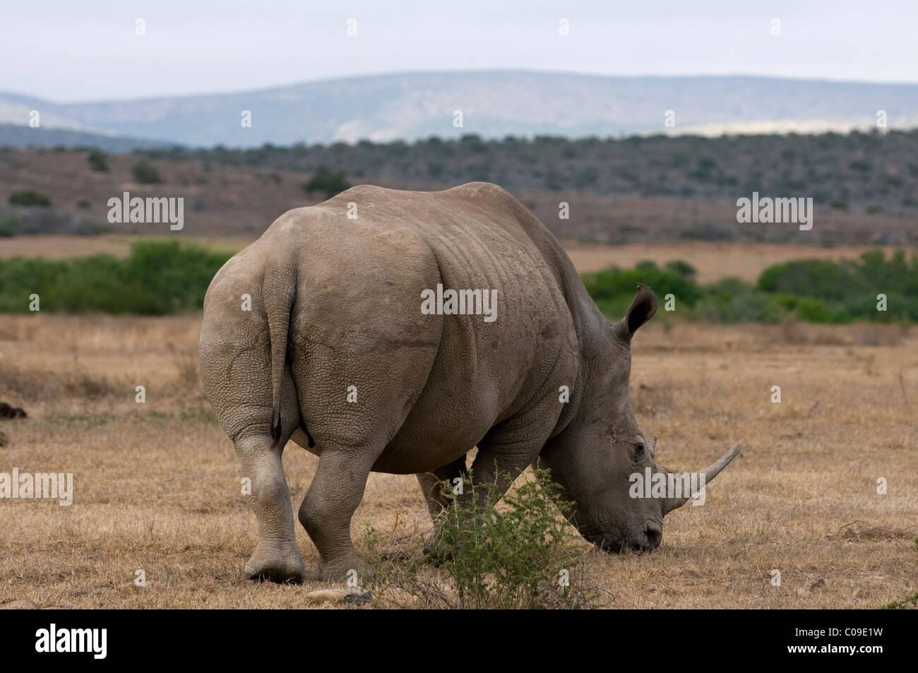 White Rhino, Kwandwe Game Reserve, Eastern Cape, Südafrika Stockbild