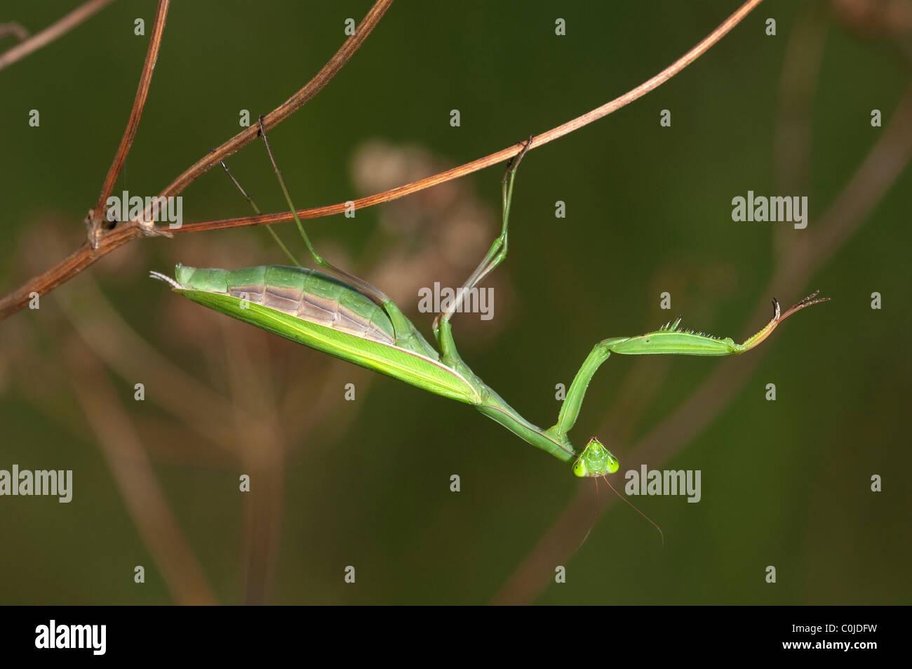 Gottesanbeterin (Mantis Religiosa), weibliche auf einem Stick. Stockbild