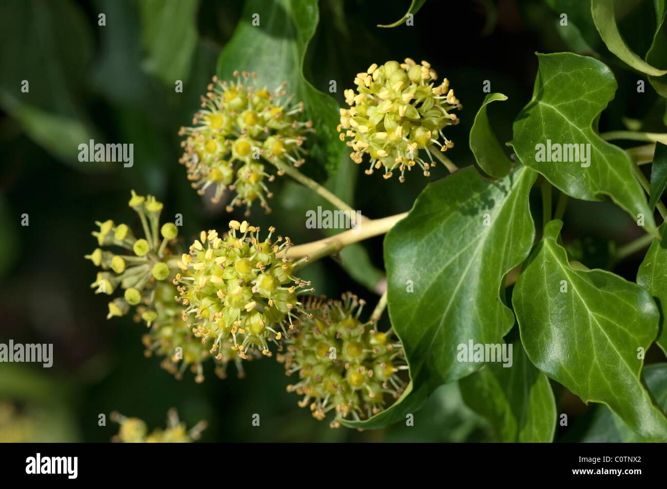 Gemeinsamen Efeu, Englisch Efeu (Hedera Helix), blühender Zweig. Stockfoto