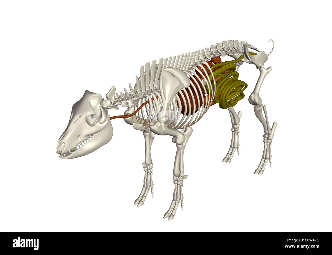 Schwein Anatomie Verdauung Magen Darm Stockfoto, Bild: 34972884 - Alamy
