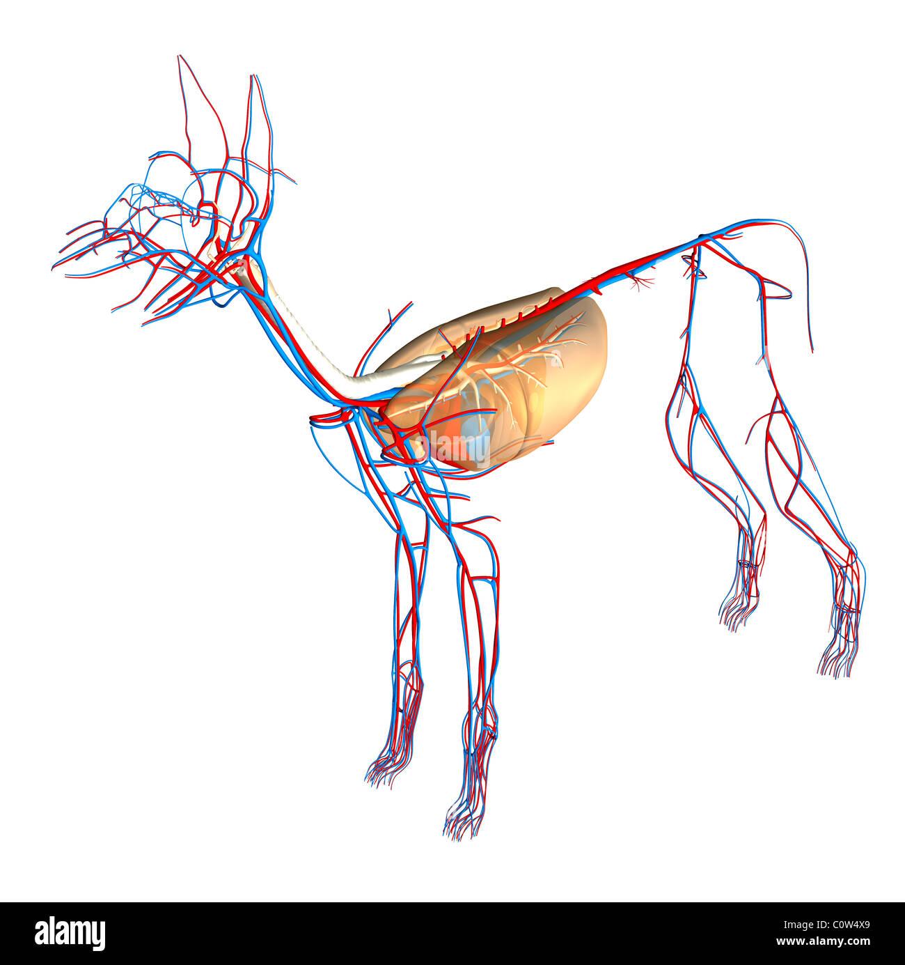 Hund Anatomie Atemwege Lungen Kreislauf Herz Stockfoto, Bild ...
