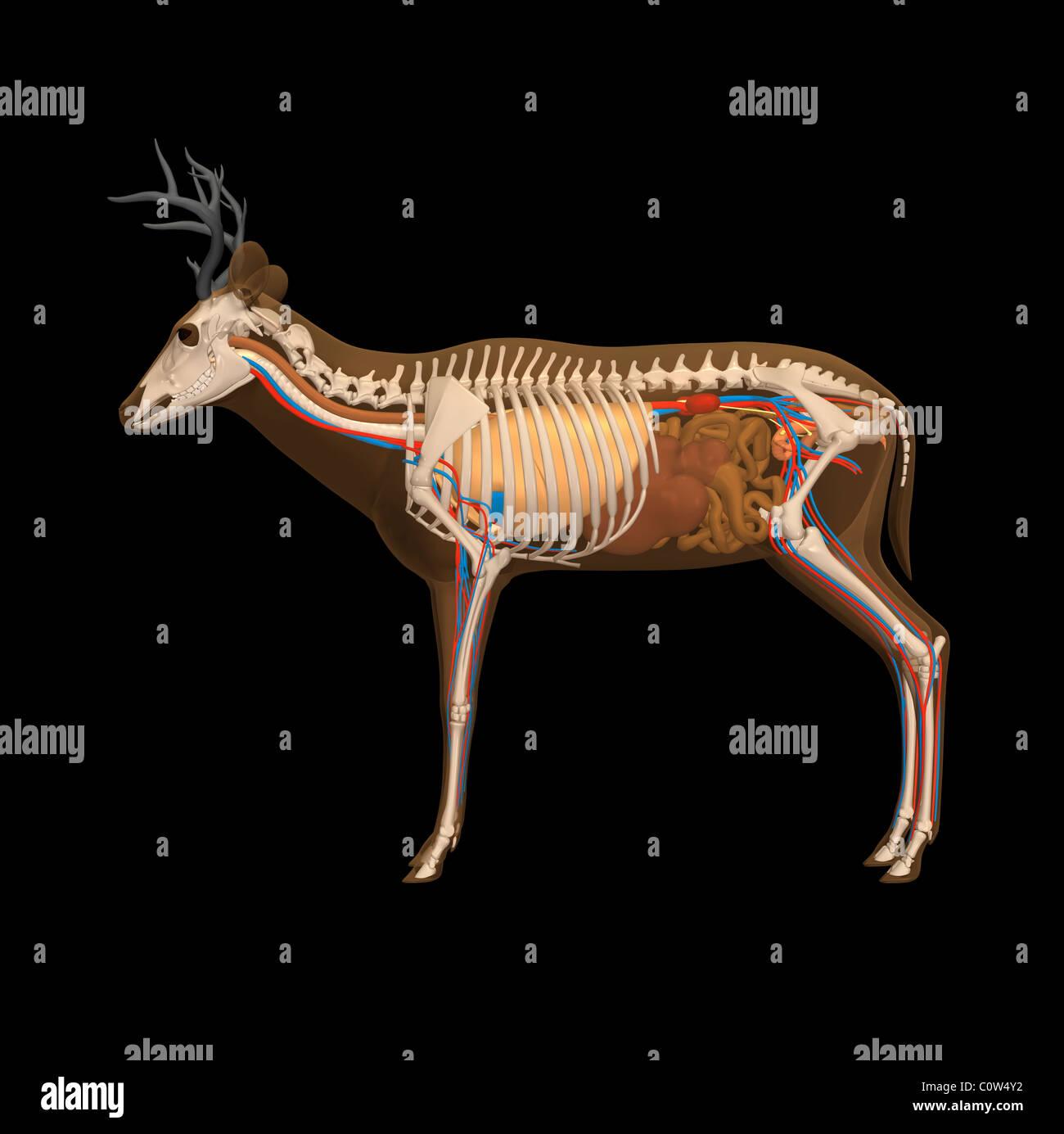 Hirsch-Anatomie Stockfoto, Bild: 34973430 - Alamy