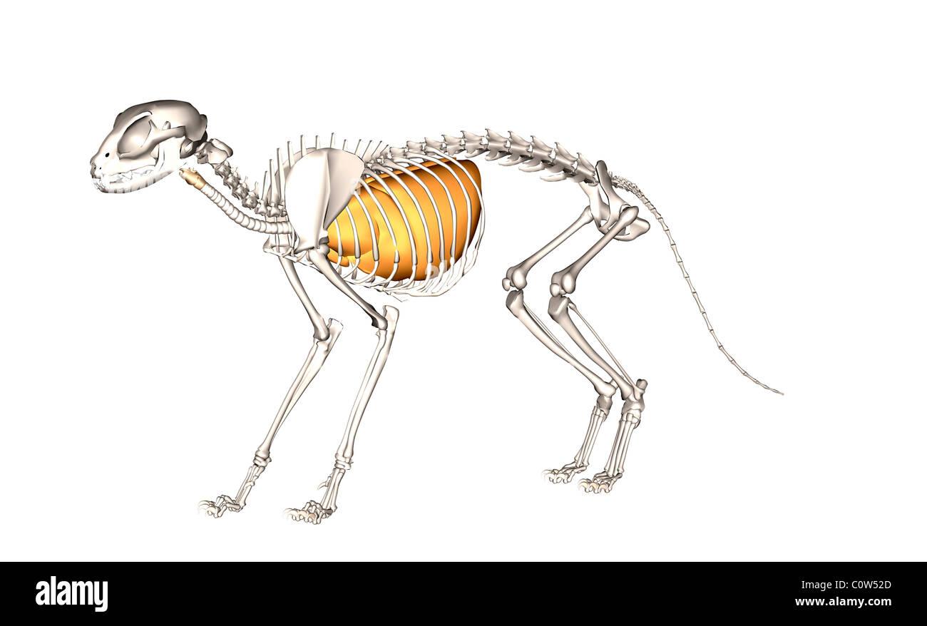 Anatomie der Atemwege Lunge Katze Stockfoto, Bild: 34973525 - Alamy