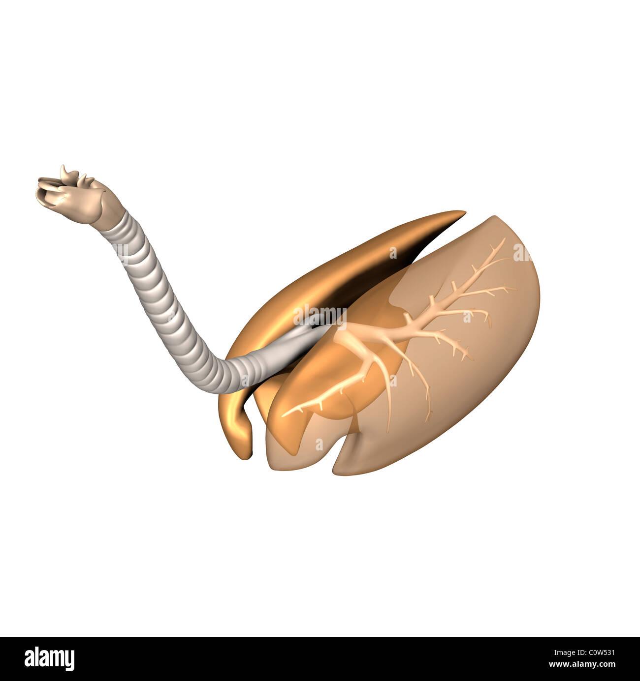 Charmant Anatomie Der Lunge Und Der Atemwege Ideen - Menschliche ...