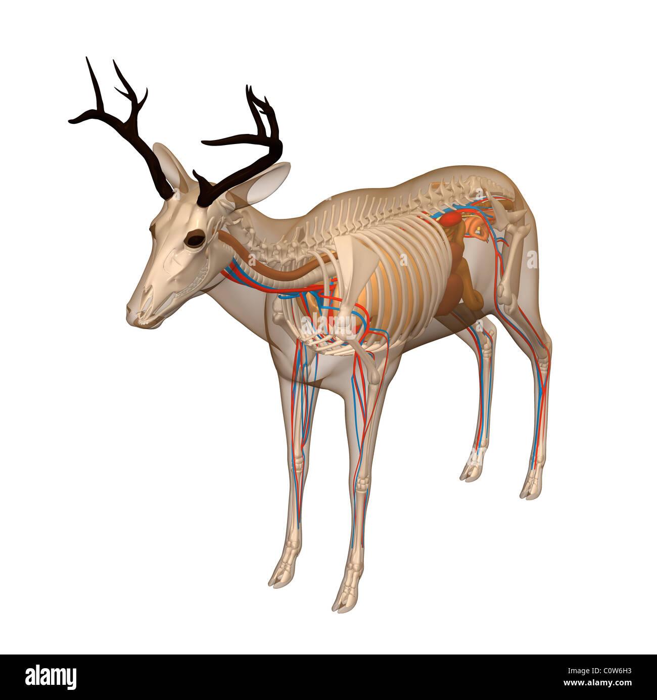 Hirsch-Anatomie Stockfoto, Bild: 34974719 - Alamy