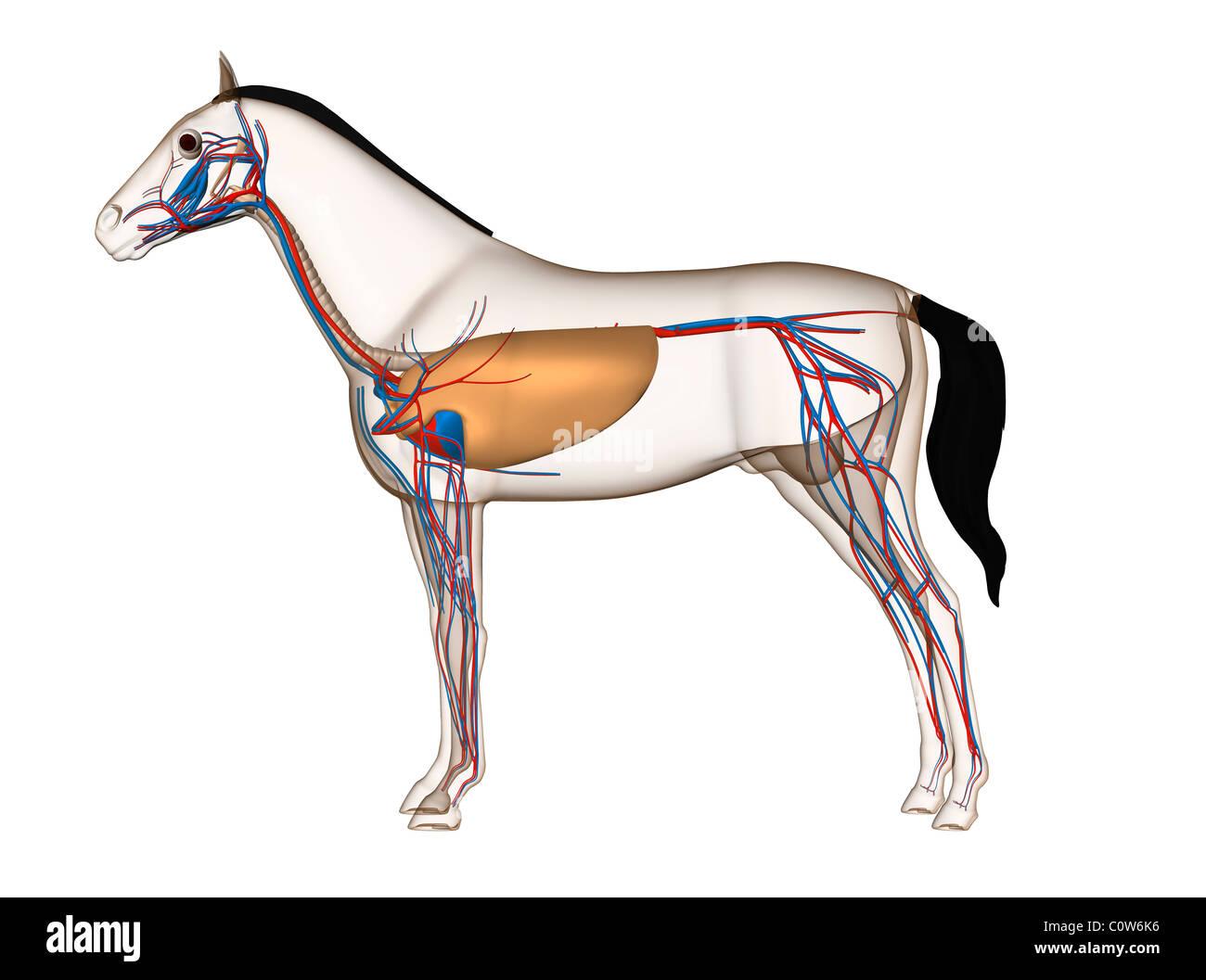 Pferd Anatomie Herz Kreislauf Atemwege Lunge Stockfoto, Bild ...