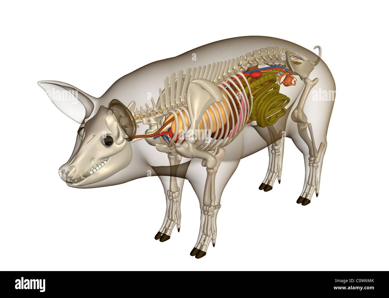 Fein Schwein Gefäßanatomie Galerie - Menschliche Anatomie Bilder ...