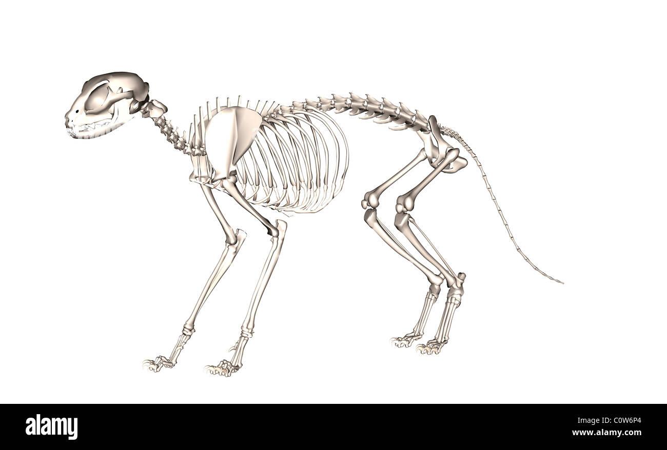 Anatomie des Skeletts Katze Stockfoto, Bild: 34974860 - Alamy