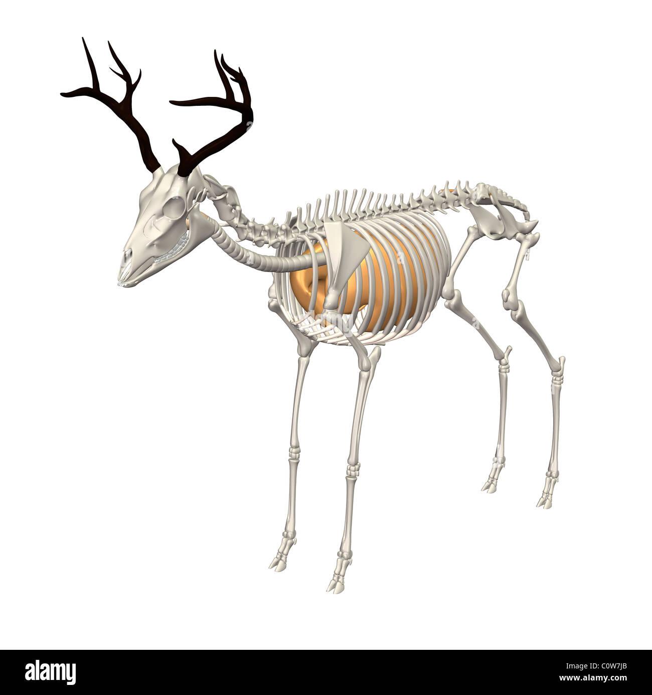 Hirsch Anatomie Atemwege Lunge Skelett durchsichtigen Körper ...
