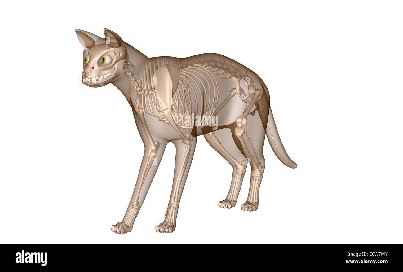 Anatomie der Katze Skelett Skelett Knochen Stockfoto, Bild: 34975611 ...