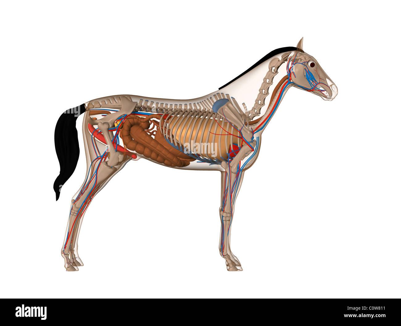 pferd penis
