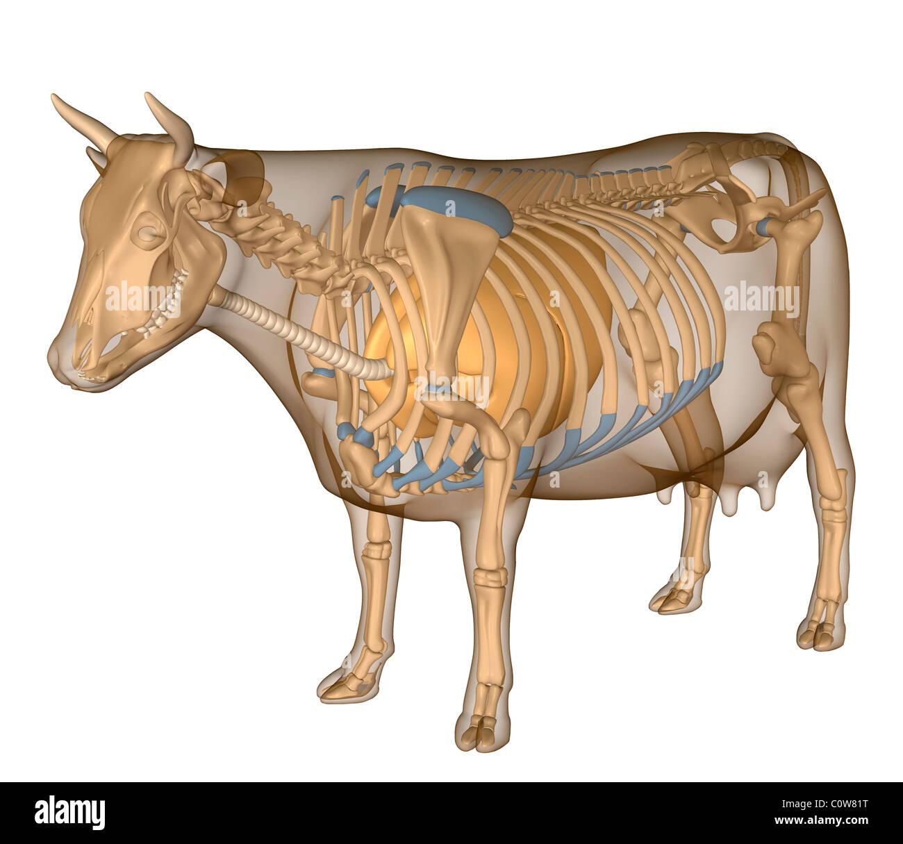Gemütlich Kuh Mund Anatomie Ideen - Menschliche Anatomie Bilder ...