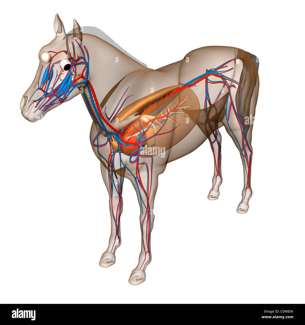 Wunderbar Pferd Untere Extremität Anatomie Galerie - Menschliche ...
