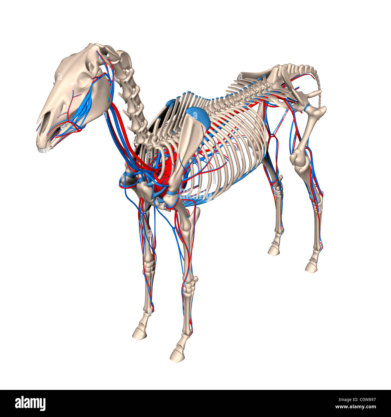 Horse Skeleton Illustration Stockfotos & Horse Skeleton Illustration ...