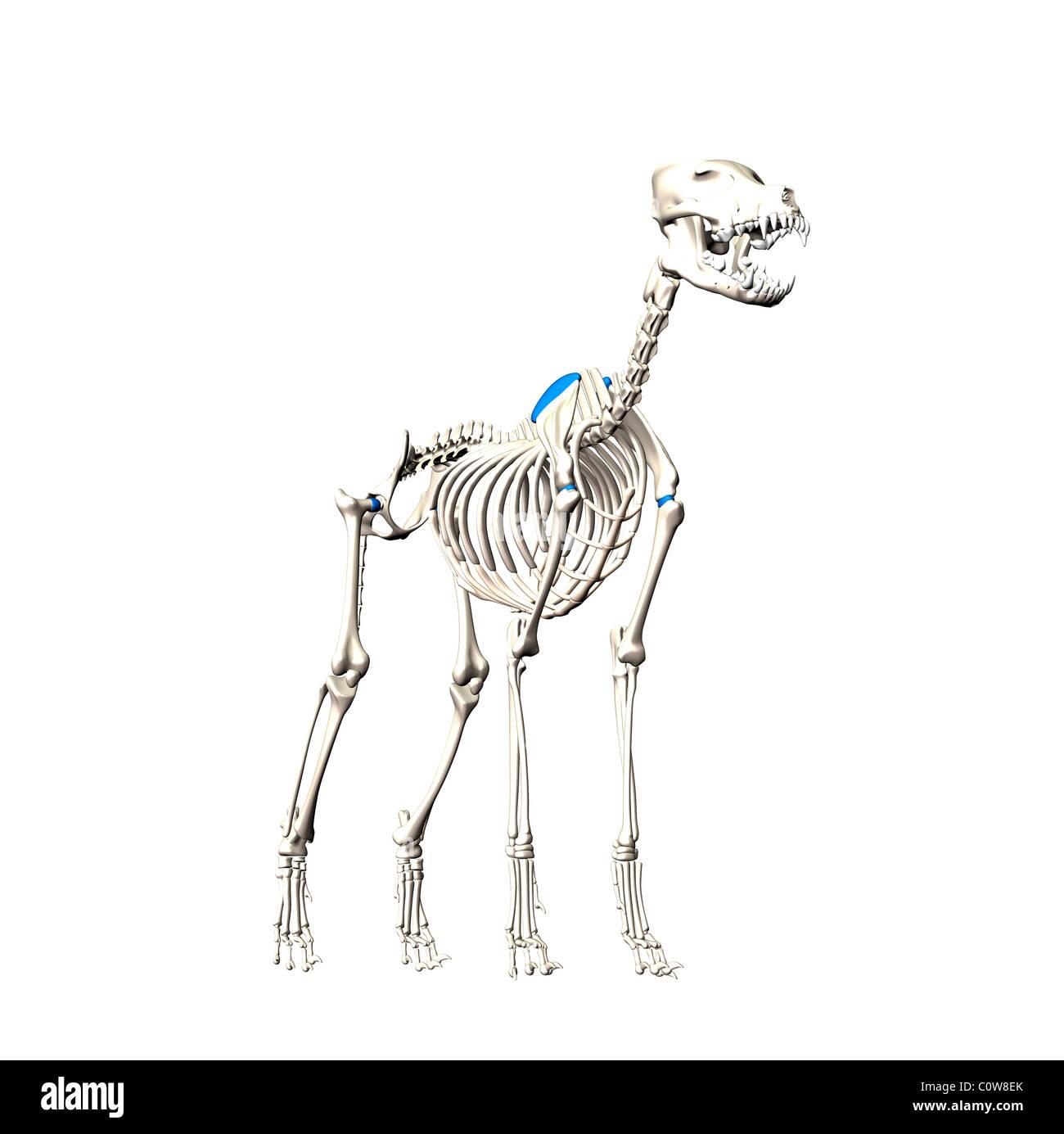Hund Anatomie Skelett Stockfoto, Bild: 34976219 - Alamy