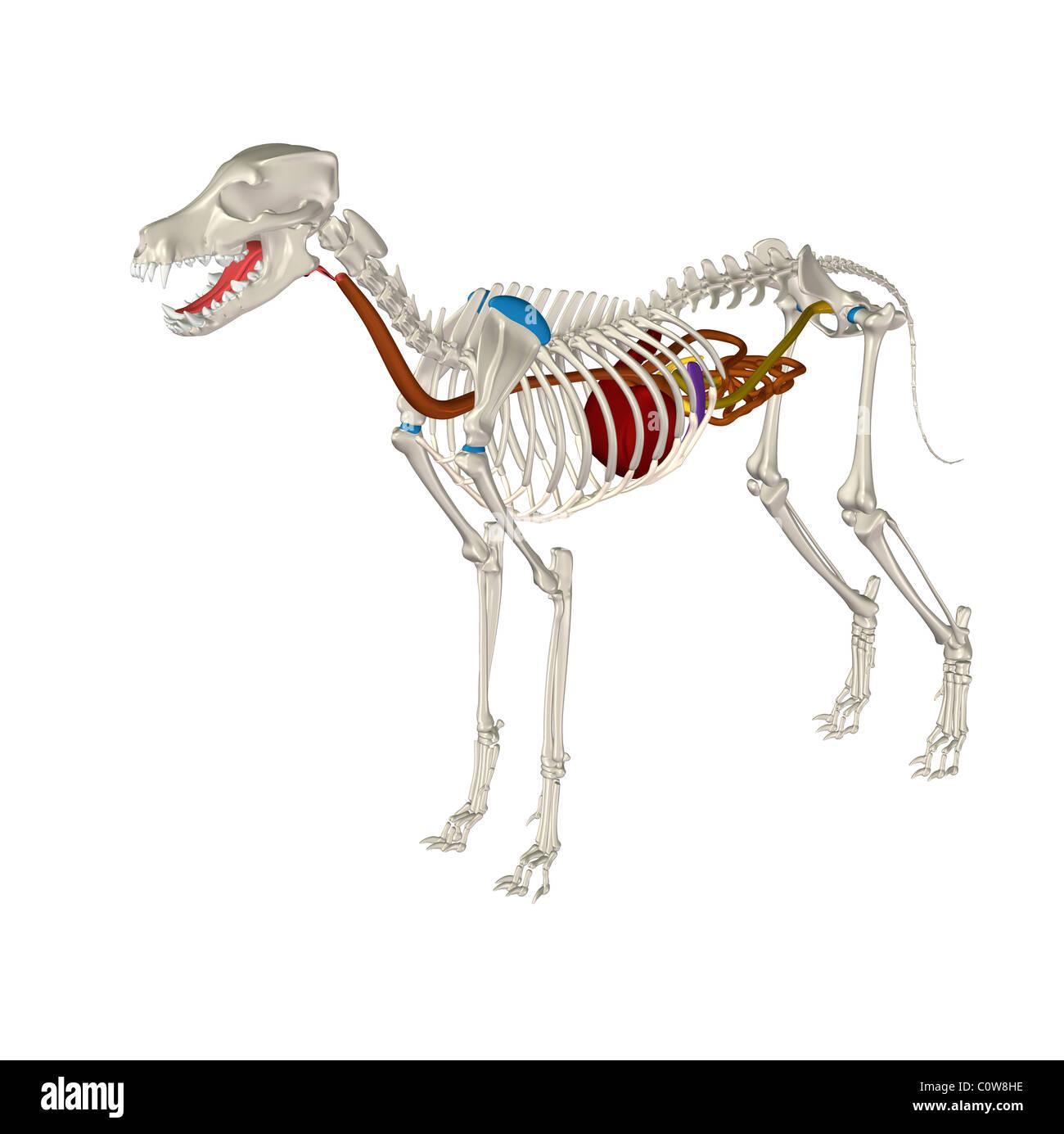 Hund Anatomie Verdauung Magen Skelett Stockfoto, Bild: 34976298 - Alamy
