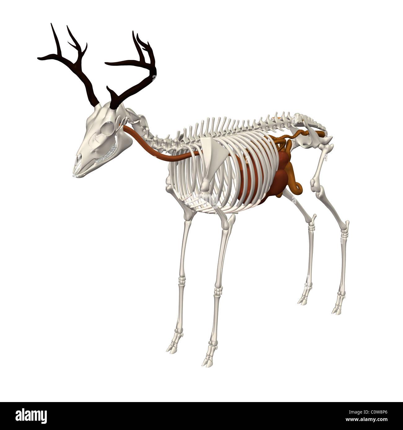 Charmant Hirsch Skelettanatomie Galerie - Menschliche Anatomie ...