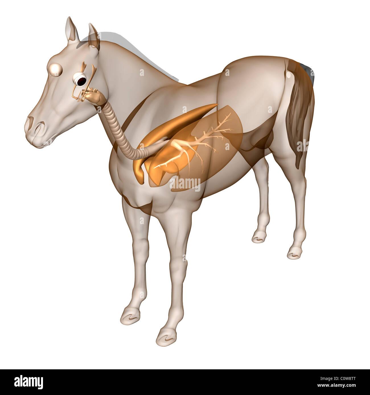 Pferd Anatomie Atemwege Lunge Stockfoto, Bild: 34976504 - Alamy