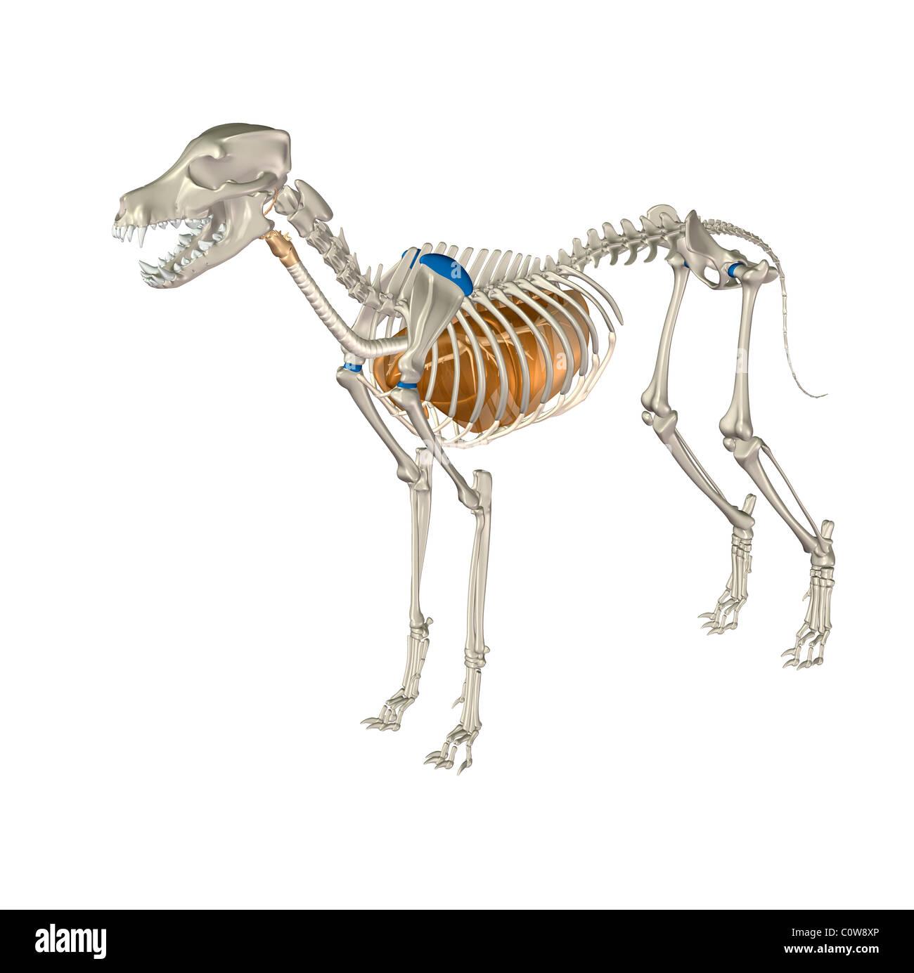 Hund Anatomie Atemwege Lunge Stockfoto, Bild: 34976558 - Alamy