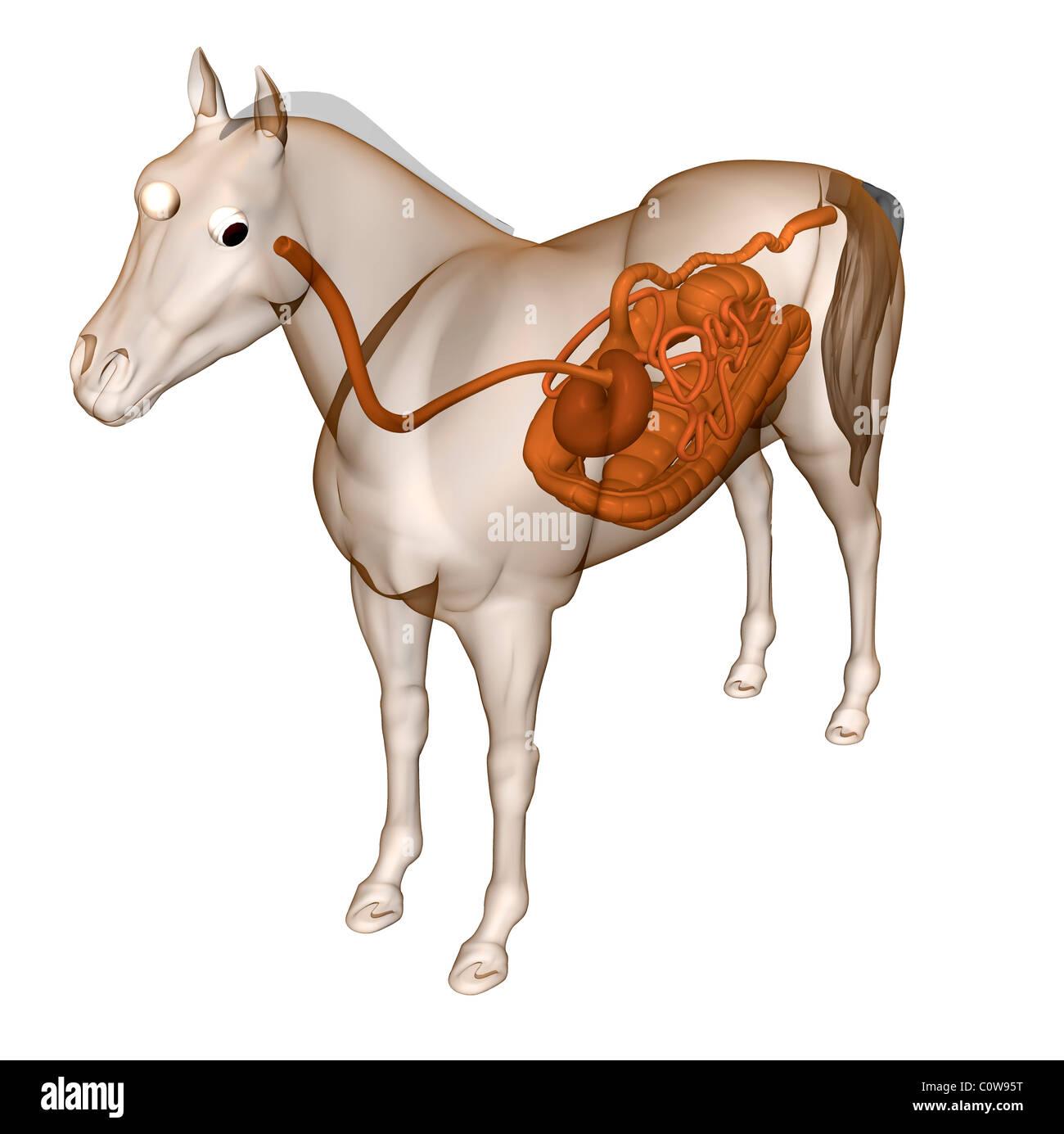 Pferd Anatomie Verdauung Magen Mut-Darm-Trakt Zwölffingerdarm ...