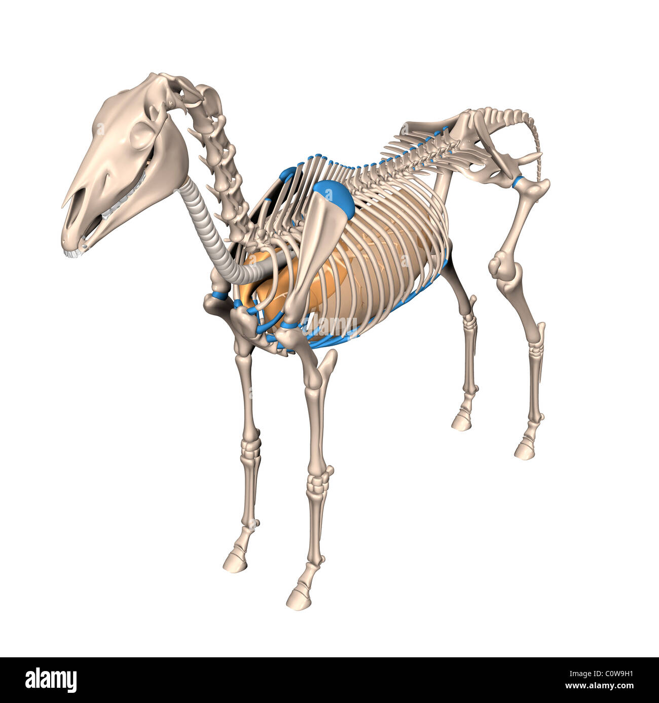 Pferd Anatomie Atemwege Lunge Skelett Stockfoto, Bild: 34977069 - Alamy