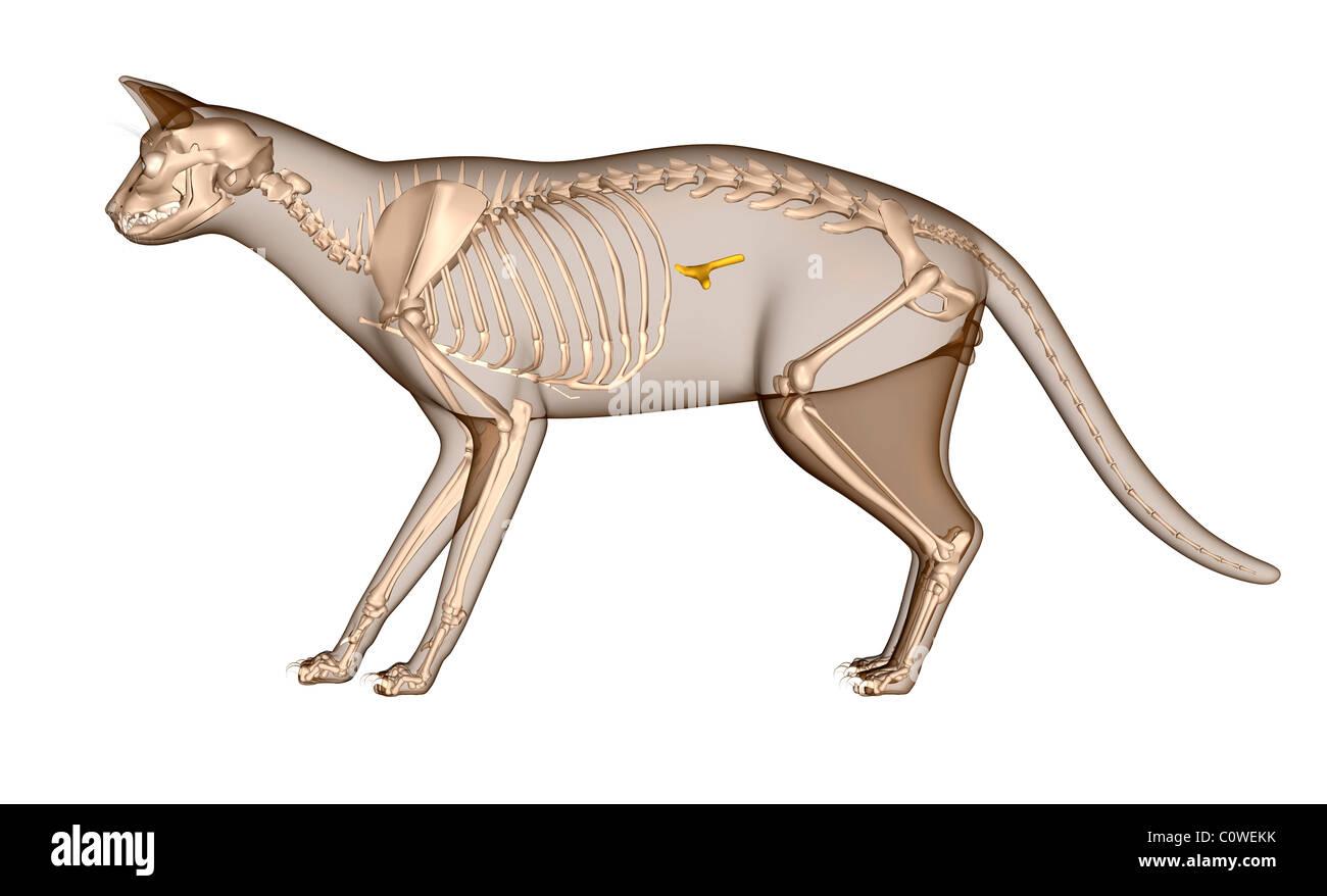 Anatomie der Katze Bauchspeicheldrüse Skelett Stockfoto, Bild ...