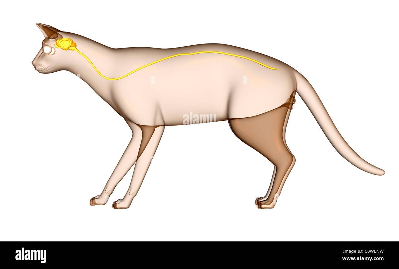Anatomie des Gehirns Katze Stockfoto, Bild: 34981125 - Alamy