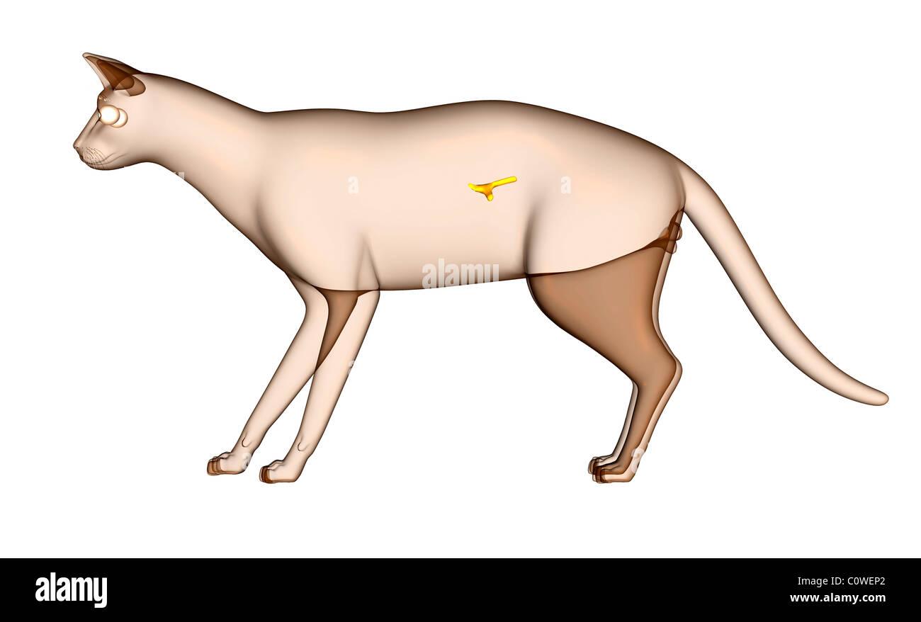 Anatomie der Katze Bauchspeicheldrüse Stockfoto, Bild: 34981130 - Alamy