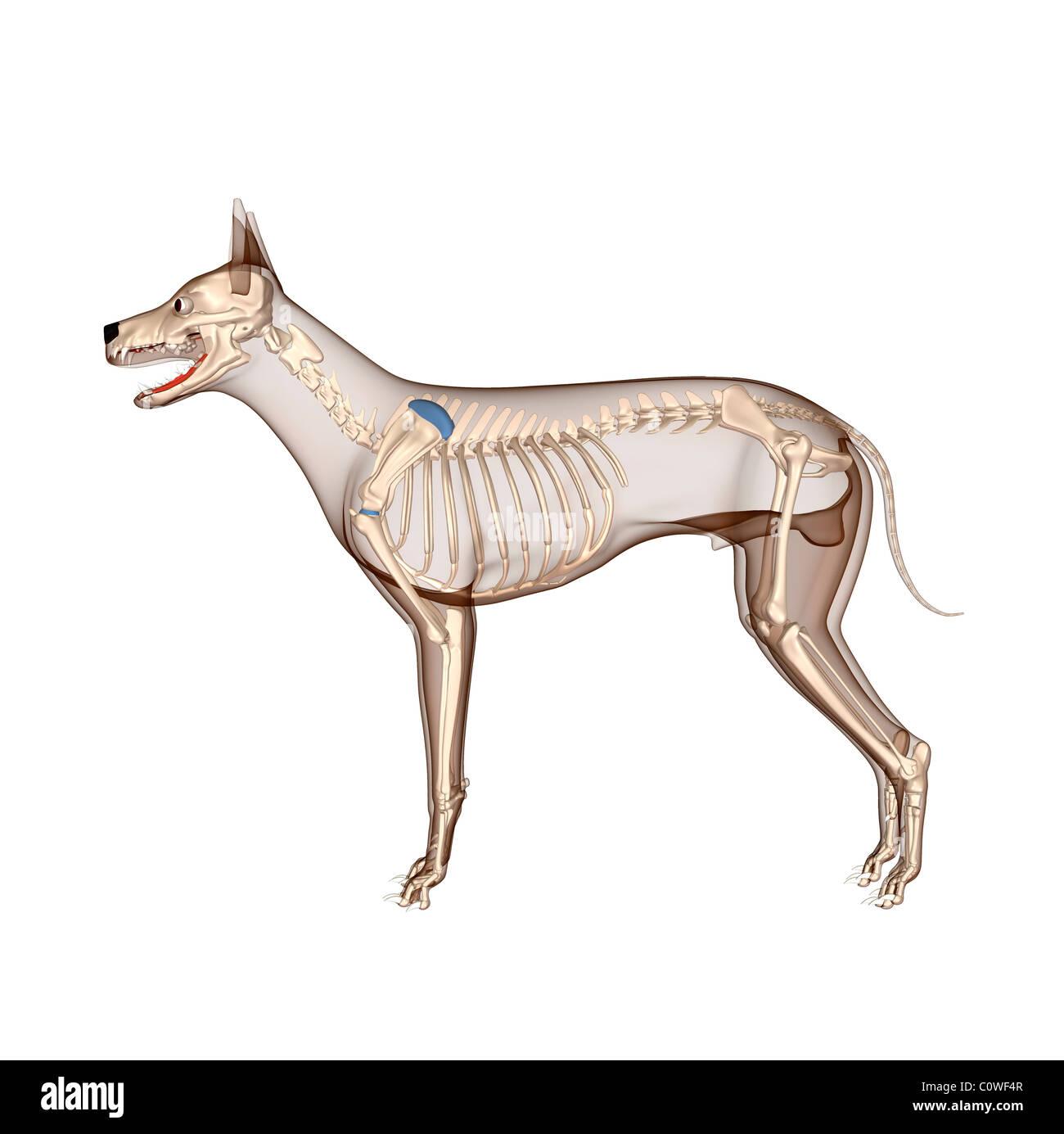 Fantastisch Interne Hund Anatomie Ideen - Menschliche Anatomie ...