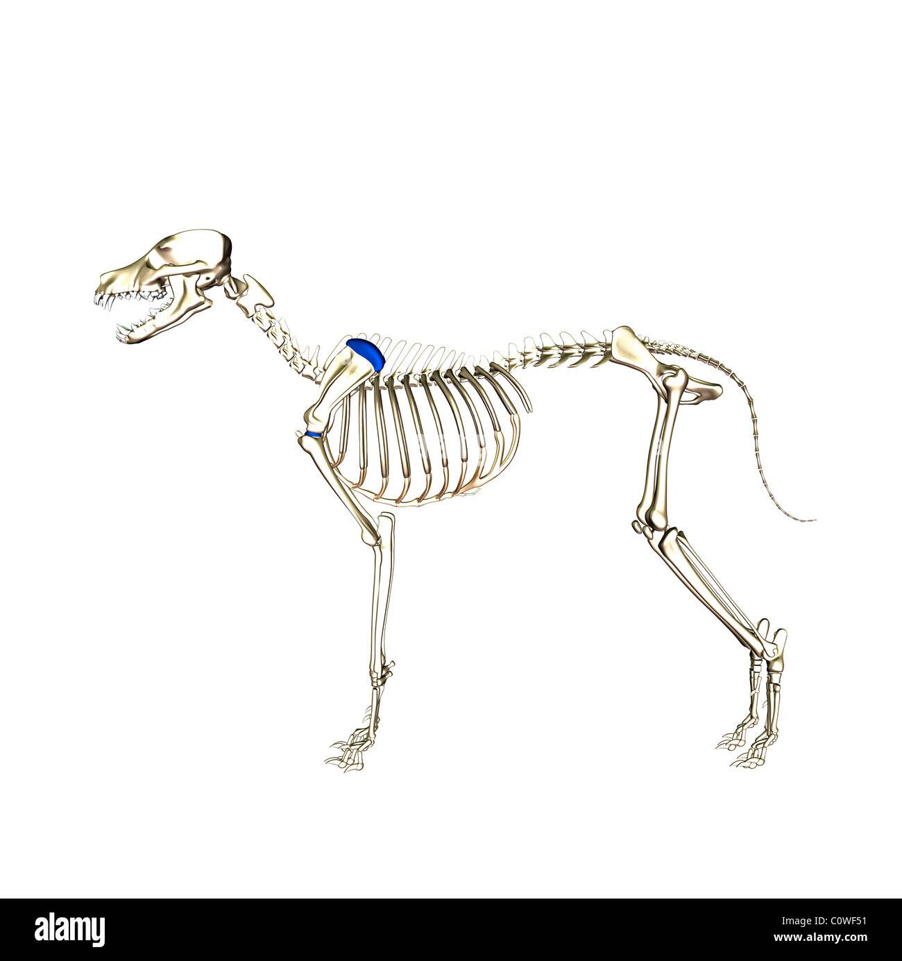Hund Anatomie Skelett Stockfoto, Bild: 34981437 - Alamy