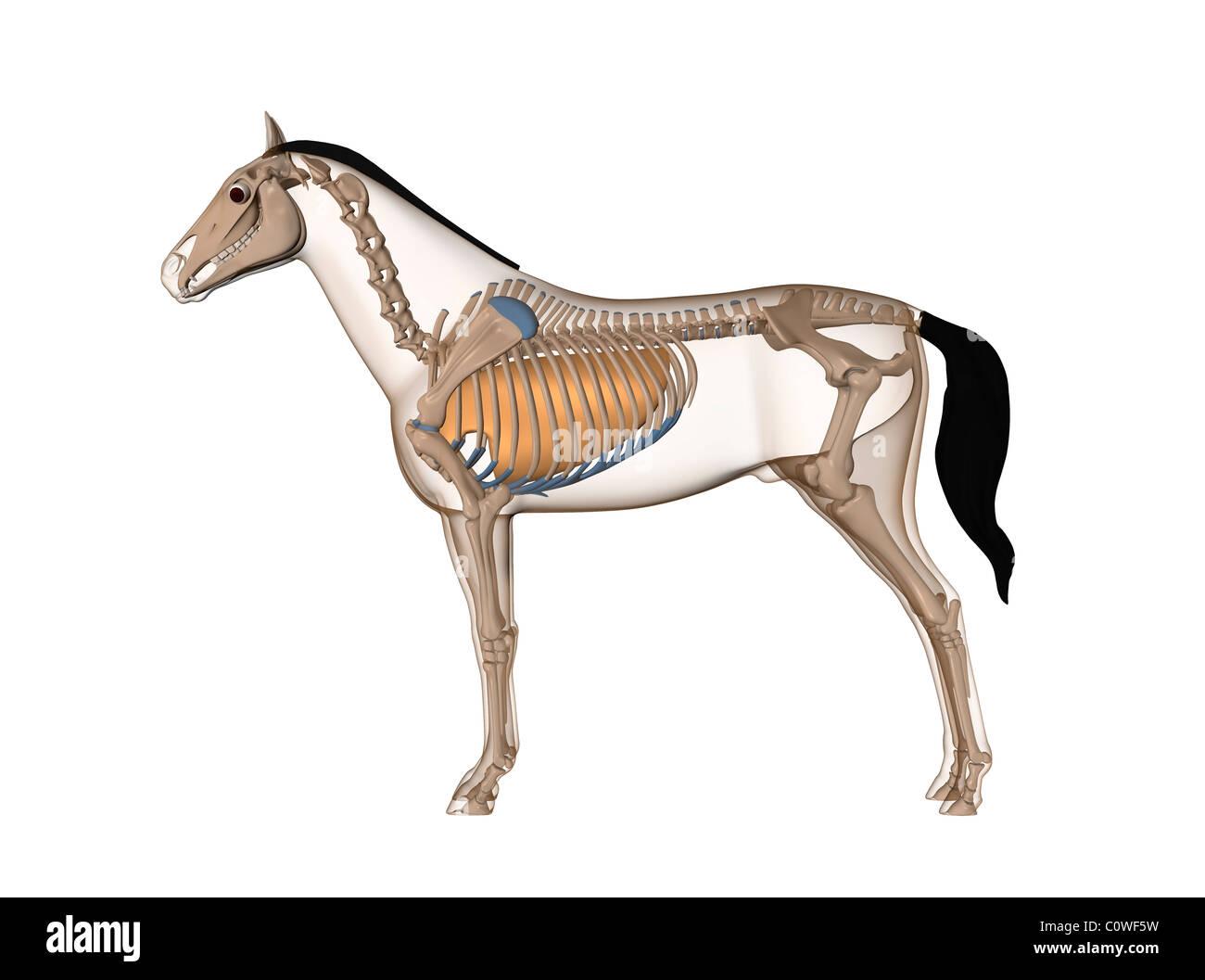 Horse Skeleton Illustration Stockfotos & Horse Skeleton Illustration ...