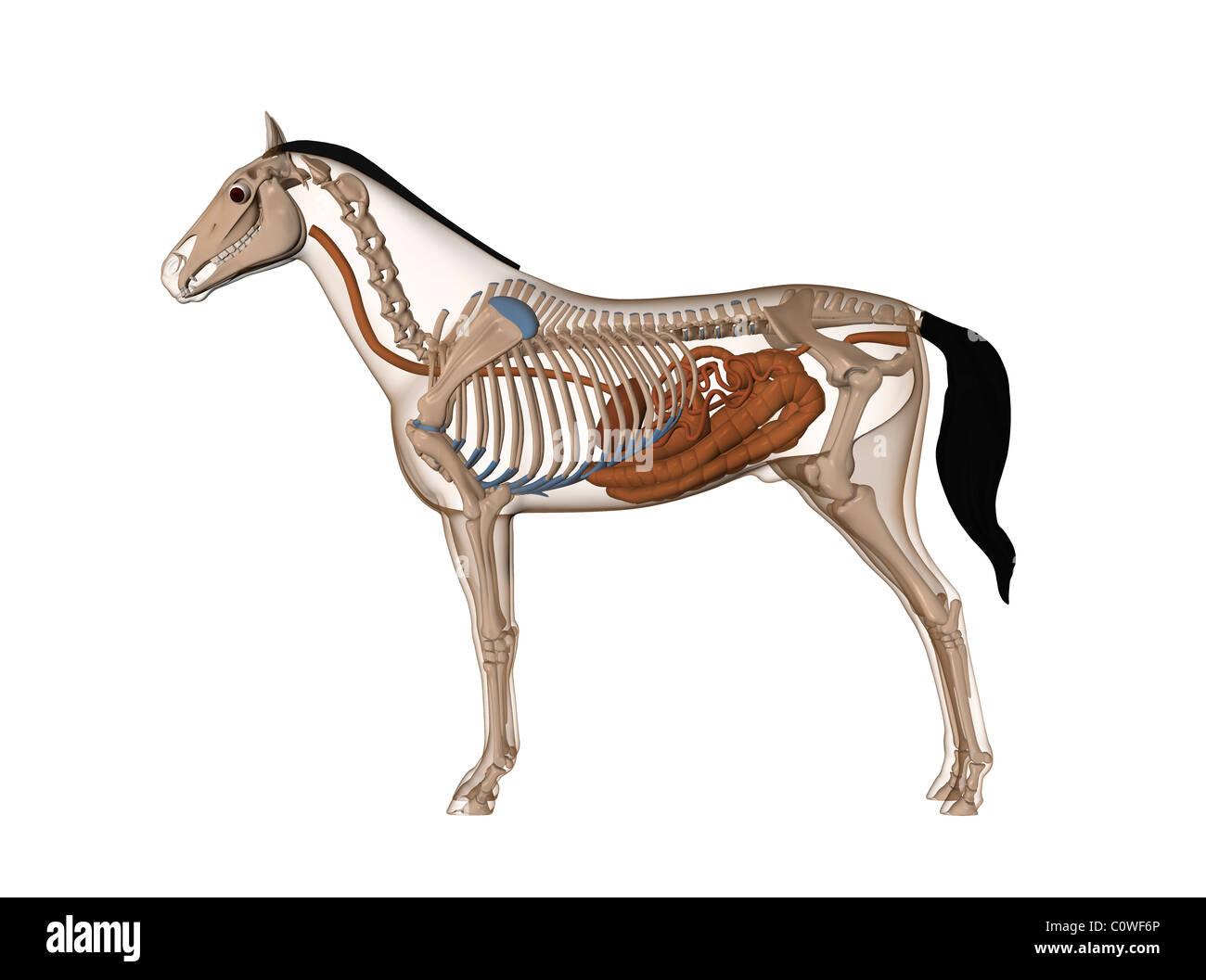 Fantastisch Pferd Skelett Anatomie Fotos - Menschliche Anatomie ...