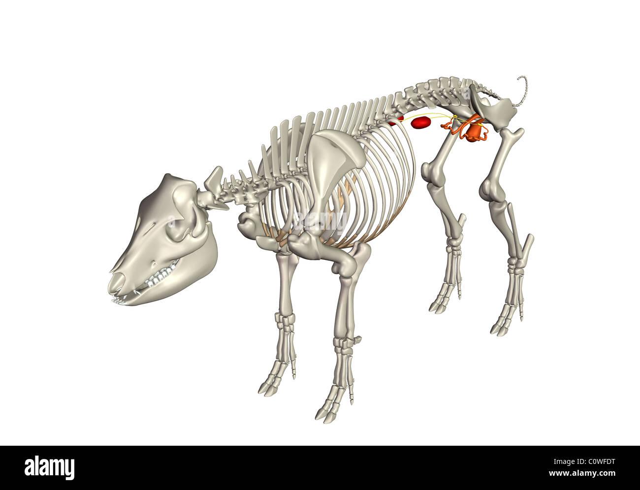 Schwein Anatomie reproduktiven Harn Nieren Skelett Stockfoto, Bild ...