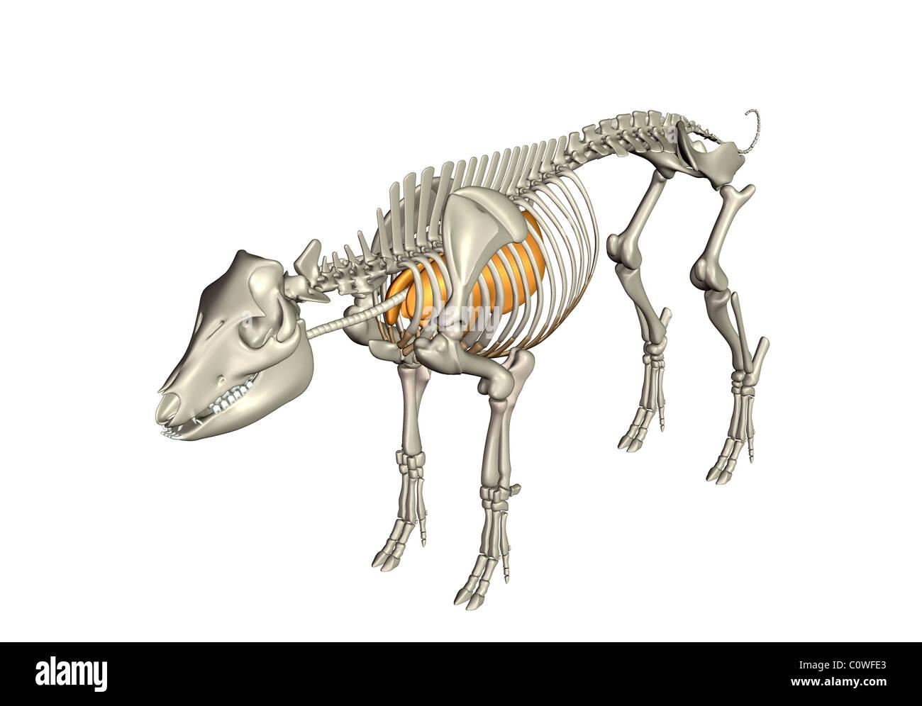 Schwein Anatomie Atemwege Lunge Skelett Stockfoto, Bild: 34981691 ...