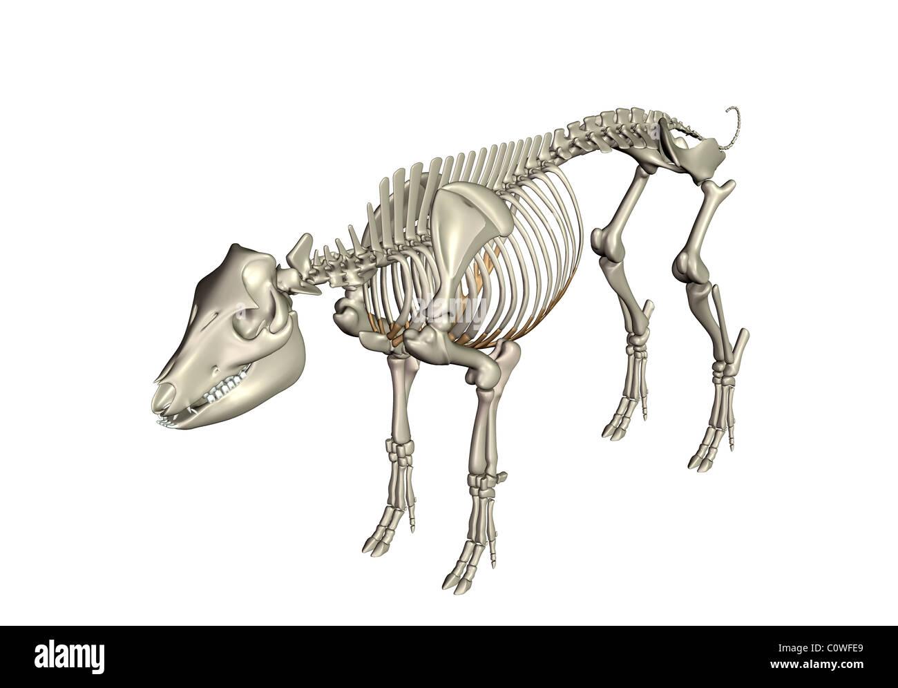 Schwein Anatomie Skelett Knochen Stockfoto, Bild: 34981697 - Alamy