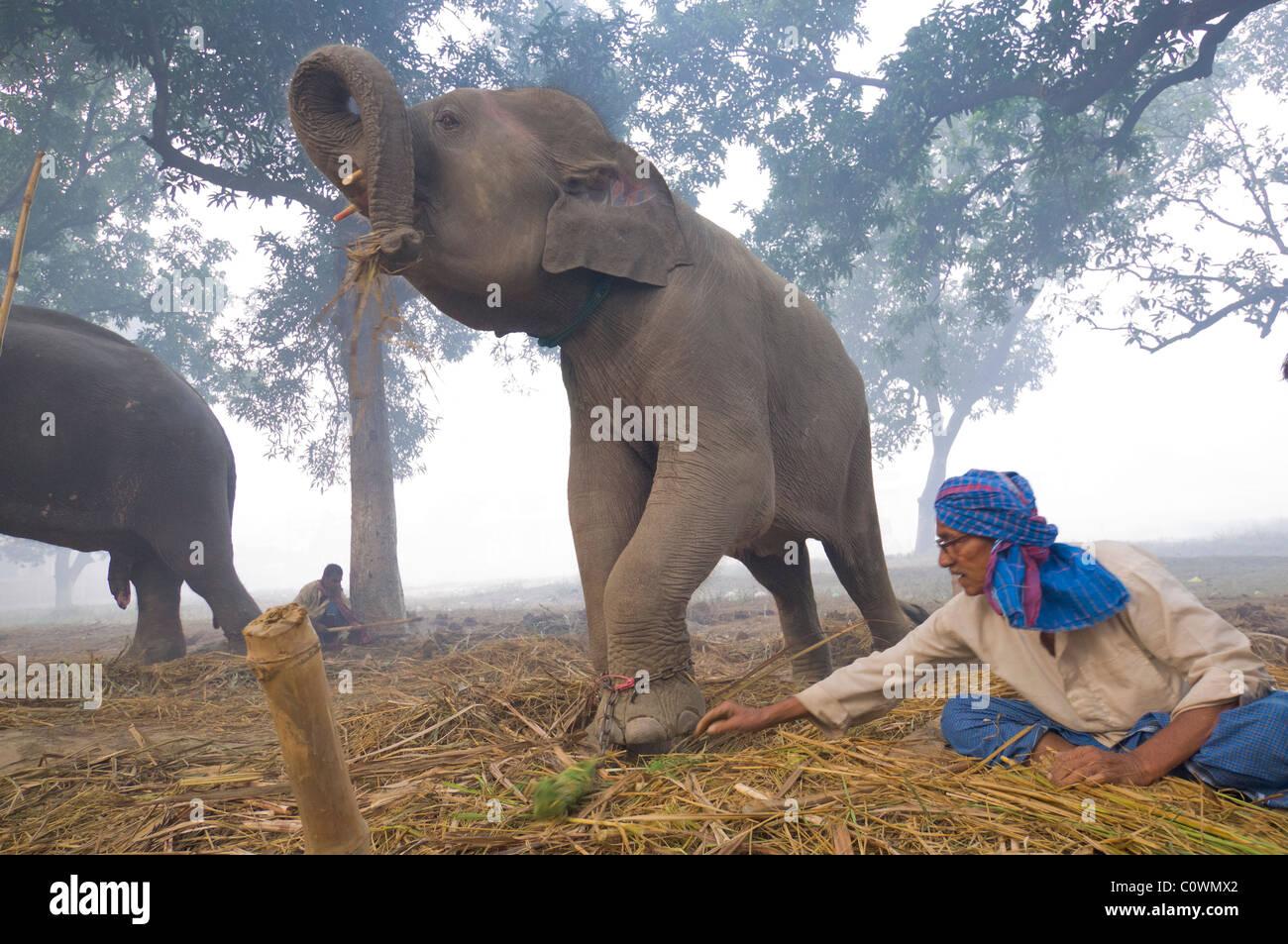 Elefanten zu verkaufen, mit seinen Mahout im Haathi Basar, Sonepur Mela, Sonepur, Bihar, Indien Stockfoto