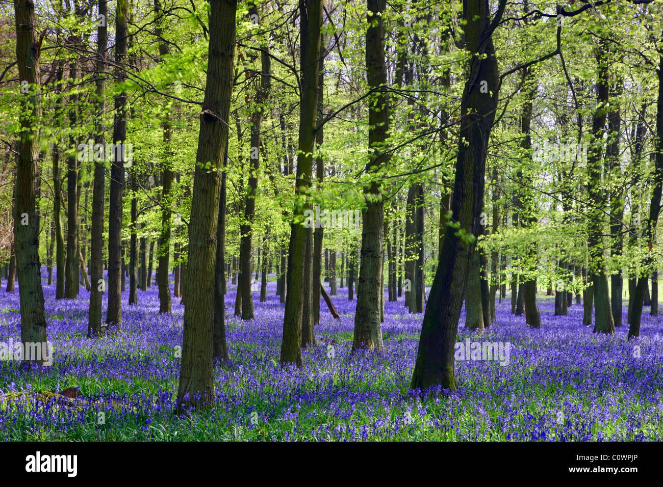 Englische Bluebell Holz Stockbild