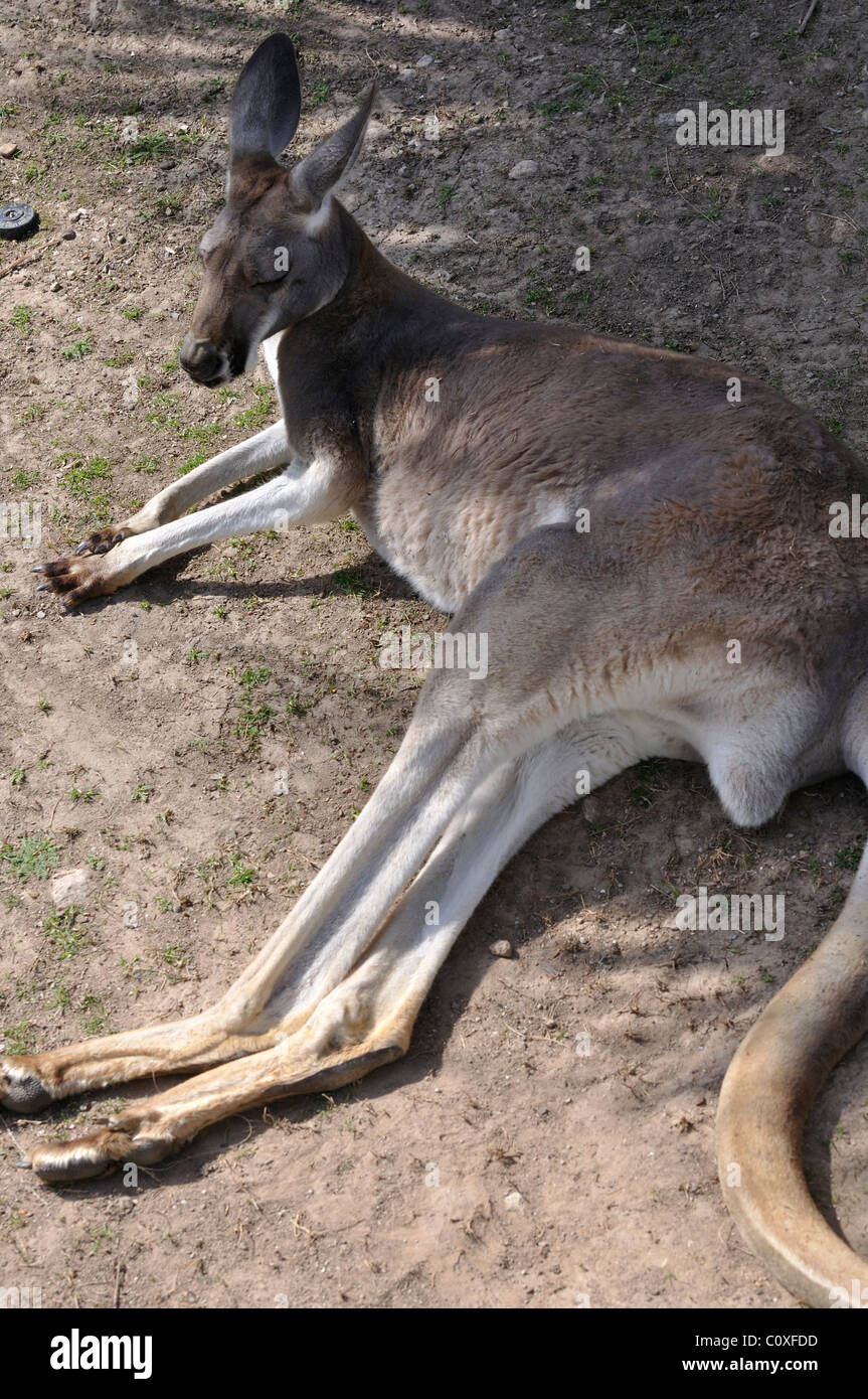 red kangaroo sleeping stockfotos red kangaroo sleeping bilder alamy. Black Bedroom Furniture Sets. Home Design Ideas