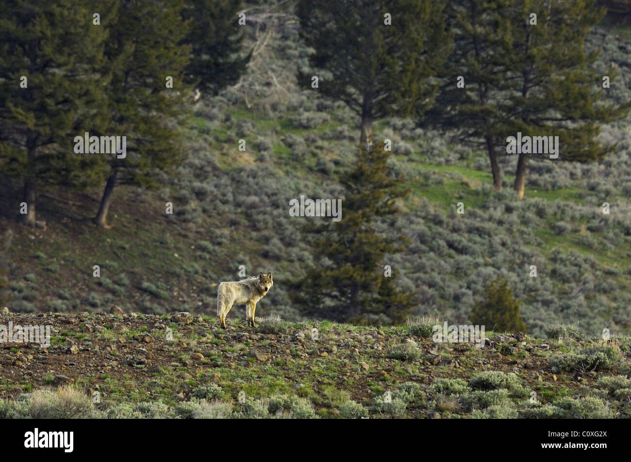 Ein grauer Wolf auf einem hohen Bergrücken im Yellowstone Stockbild