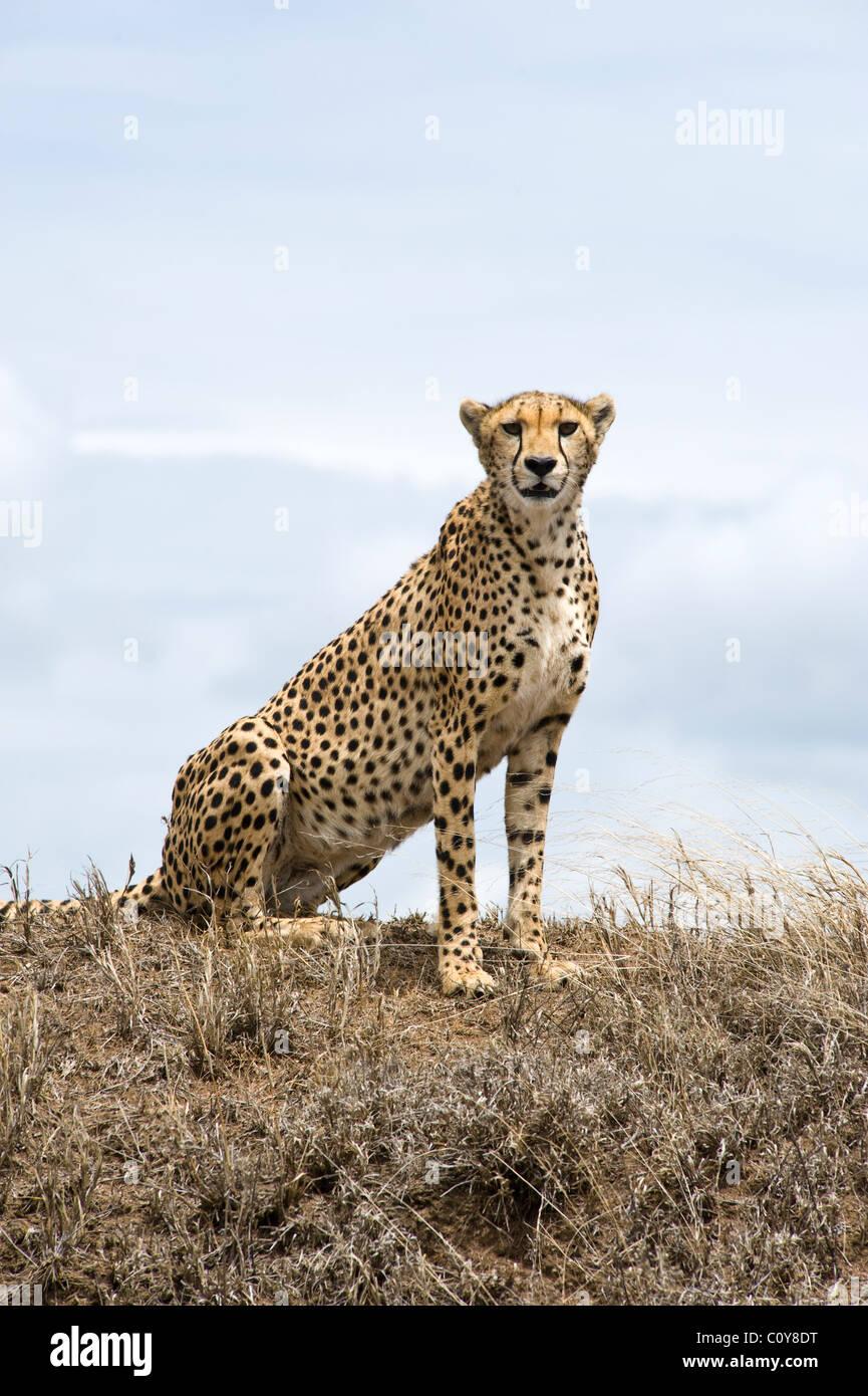Weibliche Gepard, Acinonyx Jubatus, auf der Suche nach Beute, Simba Kopjes, Serengeti, Tansania Stockbild
