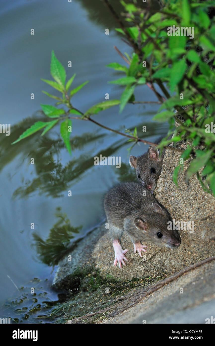 Zwei jungen braun Ratten (Rattus Norvegicus) am Wasserrand entlang Kanal Stockbild