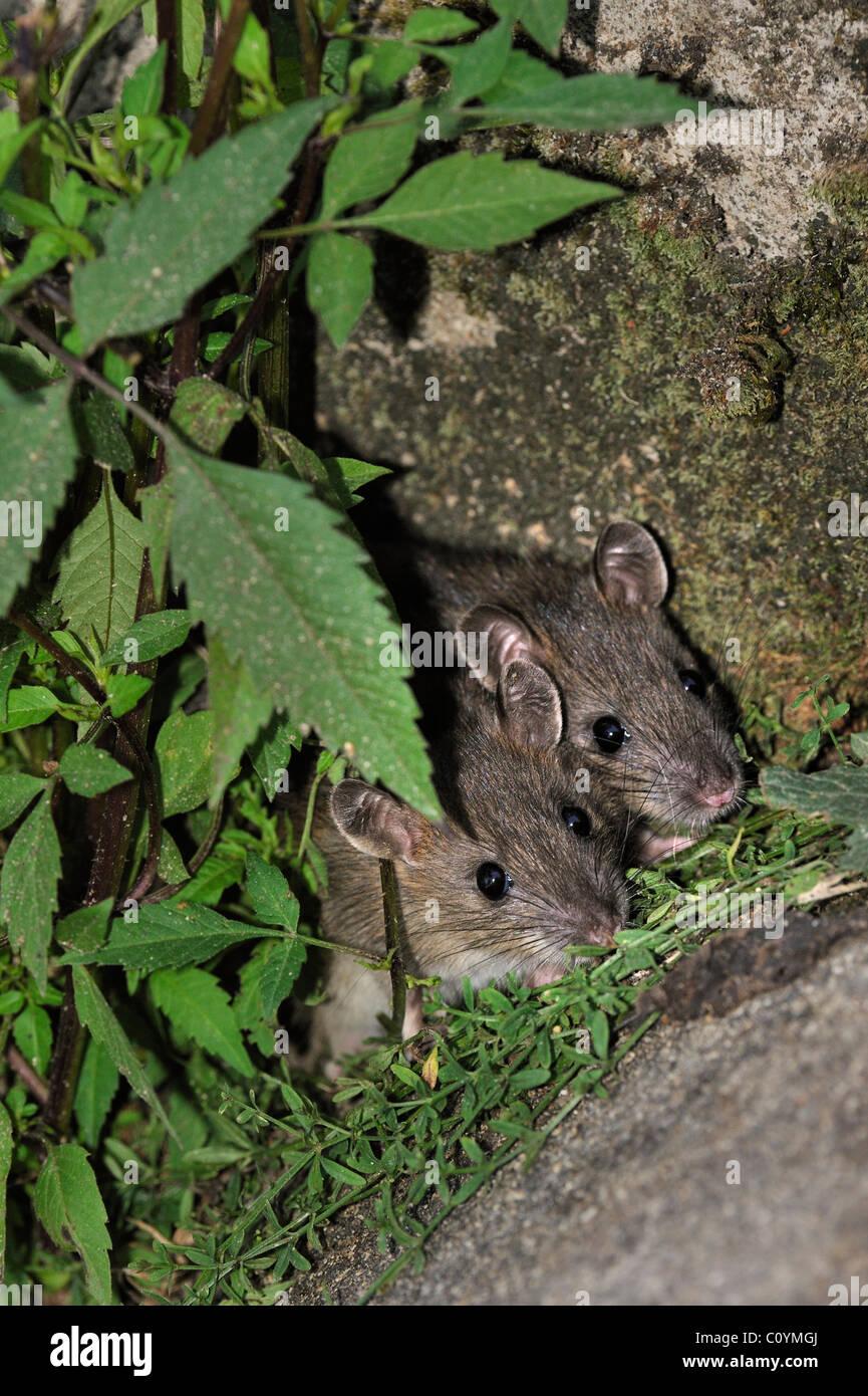 Zwei jungen braun Ratten (Rattus Norvegicus) versteckt in der Vegetation entlang der Wand Stockbild