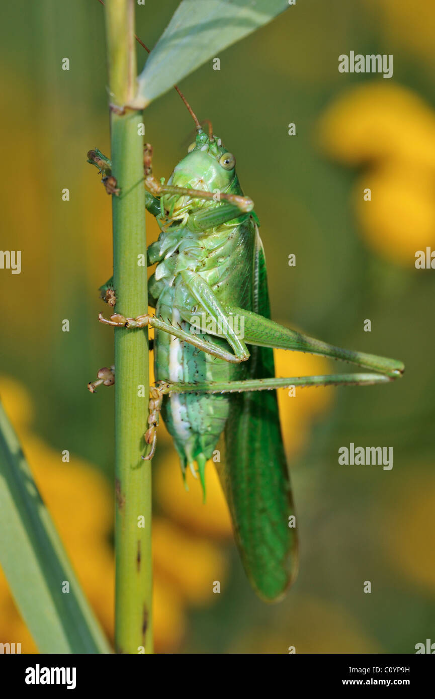 Große grüne Bush-Cricket (Tettigonia Viridissima) männlich auf Stiel Stockbild